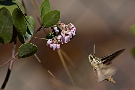 Humming Moth at Rogue Gorge 800 shutter speed 041816pp (640x427)
